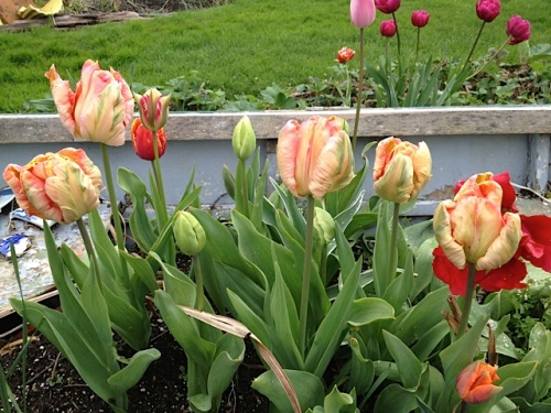 parrot tulips in the boat