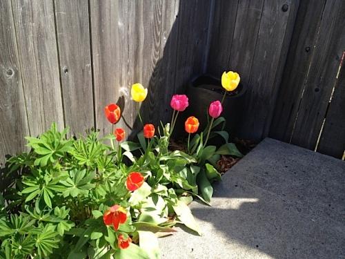 Judy's tulips