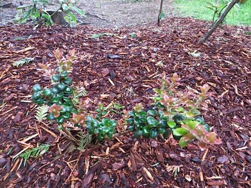 Vaccinium nummularium (a wee evergreen huckleberry)