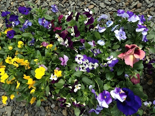 a selection of violas with three pansies