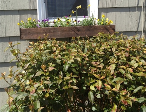 Anchorage window box refreshed with violas