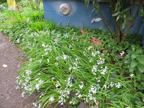 white scilla redeeming its invasive nature with beauty