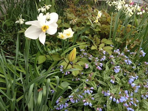 white narcissi with a delightfully small cup, and pulmonaria