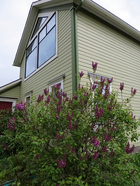 lilacs blooming at Wiegardt Gallery (where we continue to do some garden care till Eric's gardening brother arrives)