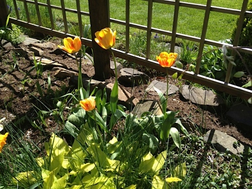 These tulips have returned for at least five years.
