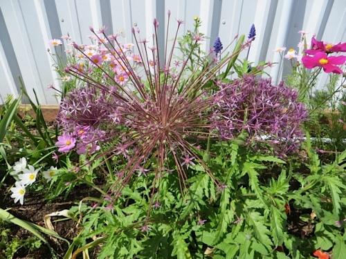 round:  Allium albopilosum starry:  Allium schubertii