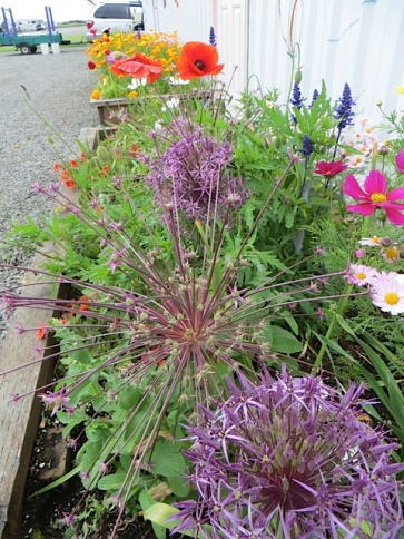 Allium albopilosom and  schubertii in the Payson Hall planters