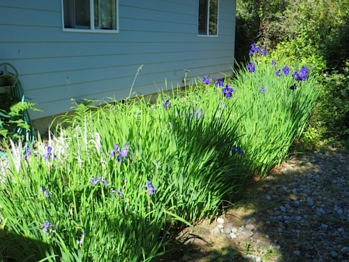 By the backyard swale, Siberian iris were at their peak.