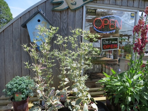 At The Basket Case; there are now only FOUR Eryngium 'Jade Frost' left.