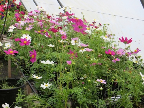 and then we picked up some more short cosmos ('Sonata') from The Basket Case Greenhouse...