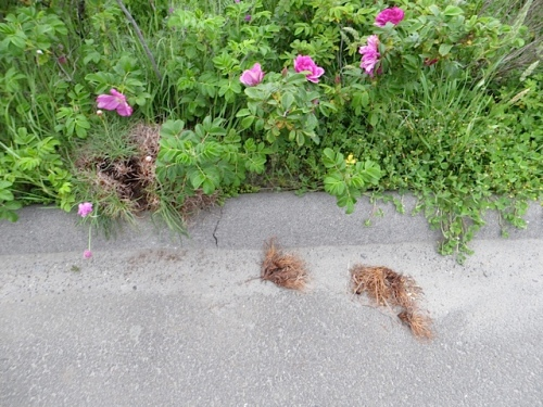 someone was really after the sea thrift!