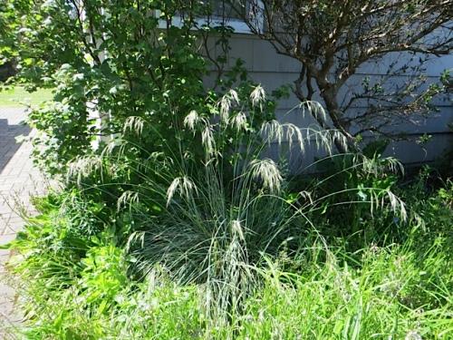 blue oat grass, backlit