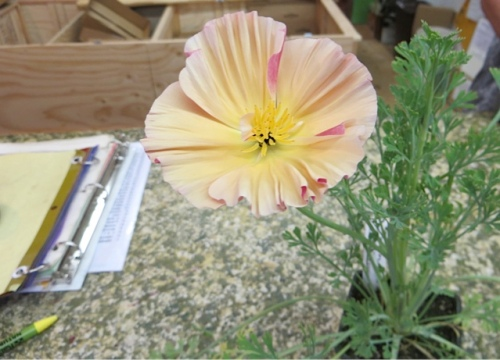 At the desk, a California poppy that I do not have.  Was it called 'Bubbles'??