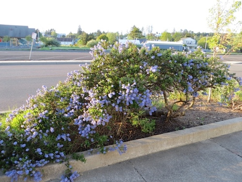 That garden has a blooming ceanothus...