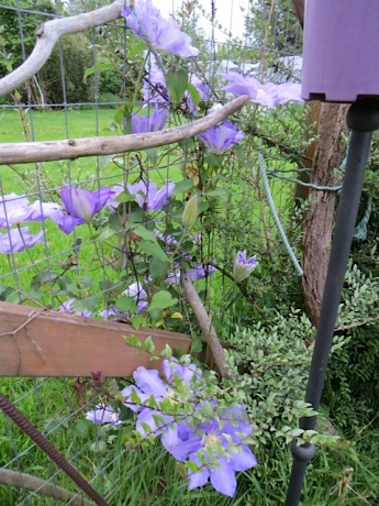 Clematis on east fence is throwing most of its flowers to the neighbours' side.