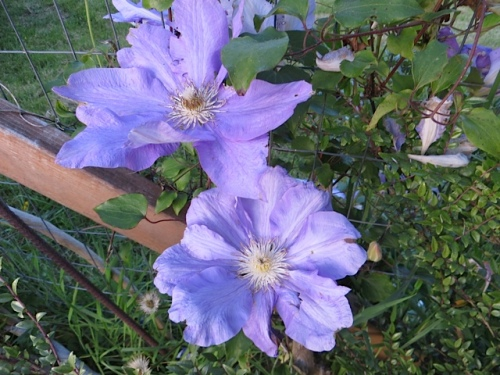 Clematis on the east fence