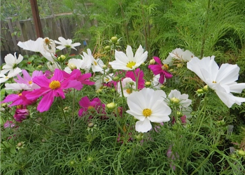 some Cosmos and an Eryngium 'Sapphire Blue' at the Planter Box