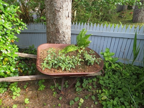 Erin has done a nice wheelbarrow planting with fuchsias and a fern.