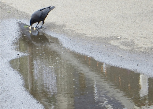 A crow got a market treat and dipped it in a puddle.