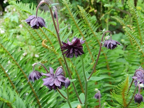 and a dark ruffly columbine