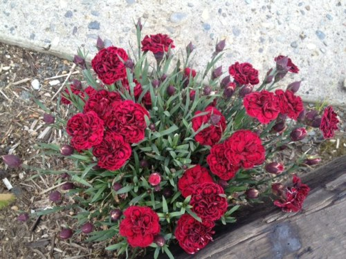 I am very pleased with how nicely the red dianthus have returned from last year.