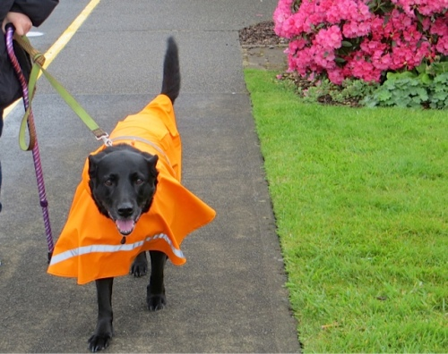 dog rain fashion