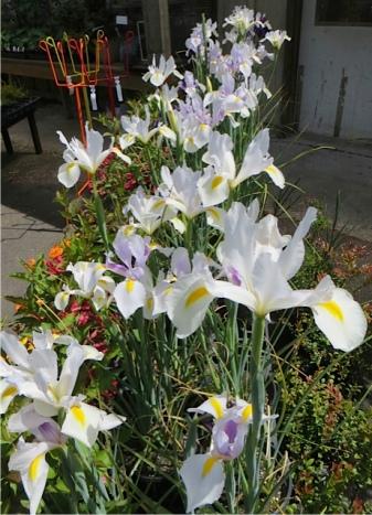 Dutch Iris at The Planter Box