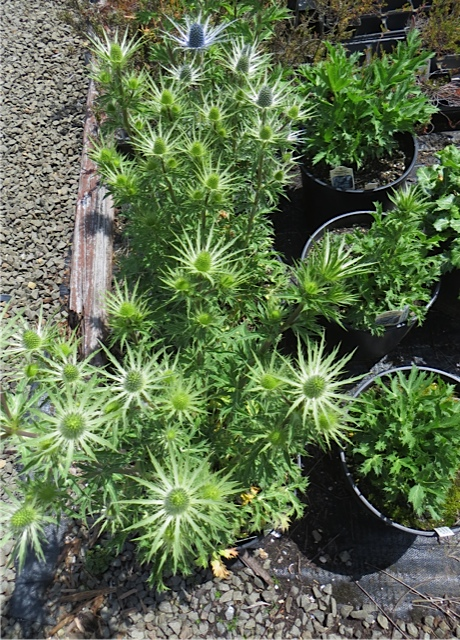 The Planter Box still has some Eryngium 'Sapphire Blue' for sale.