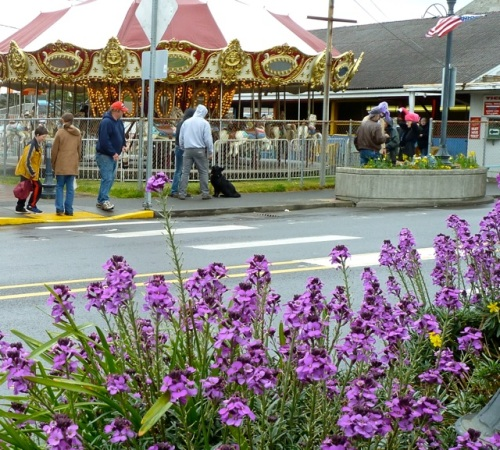 Erysimum 'Bowles Mauve' and the carousel