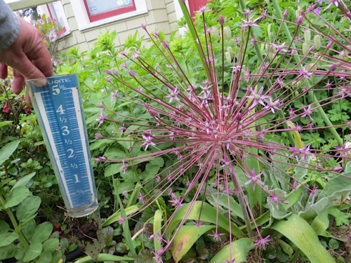 I held up the water gauge to show the allium's enormous size.