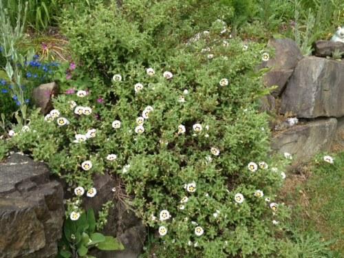 Halmioscistus wintonensis