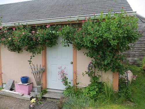 honeysuckle over the garden shed door