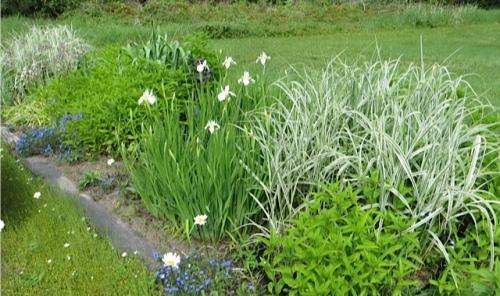 and a nice white Siberian iris.