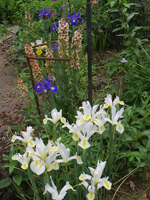 Dutch iris and Verbascum 'Southern Charm'