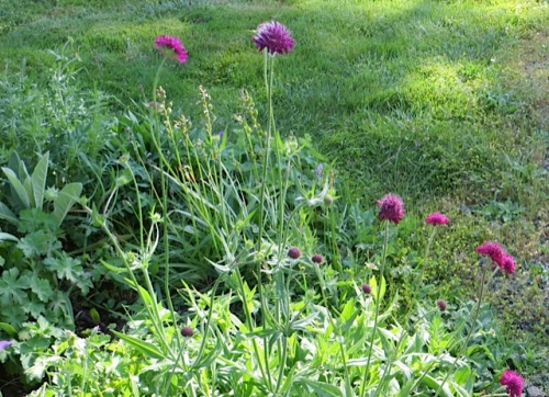 and knautia macedonica