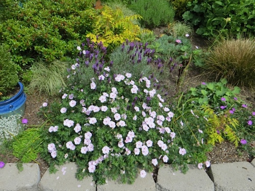 a GOOD hardy geranium and lavender
