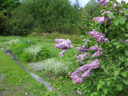 Wiegardt Gallery lilacs and three Miscanthus variegatus in the north garden beds