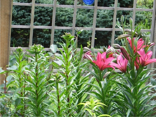 the first tall lilies