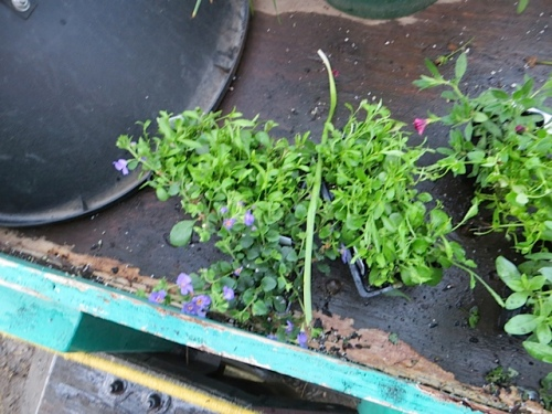NOOOOOO!  these blue lobelia were supposed to go in the Diane planters!!!!!!