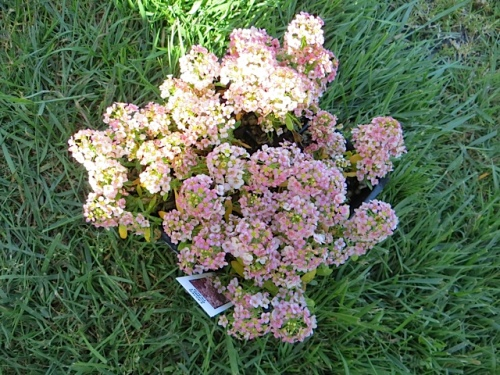 I planted some Alyssum 'Easter Bonnet Peach' from The Planter Box; the colour is just so Lorna.