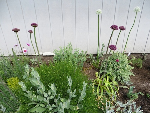 I plant many to try to counteract the finger blight, but never enough.