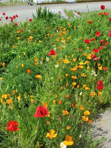 California and Corn poppies