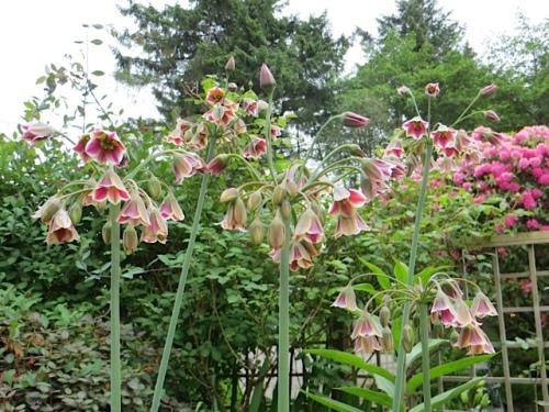 Allium bulgaricum