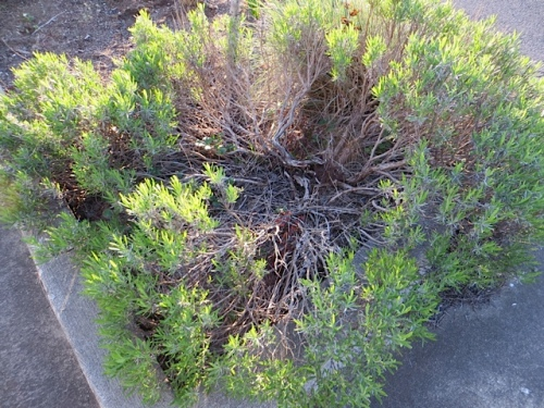 and lavenders so old I should have replaced them, and still may.