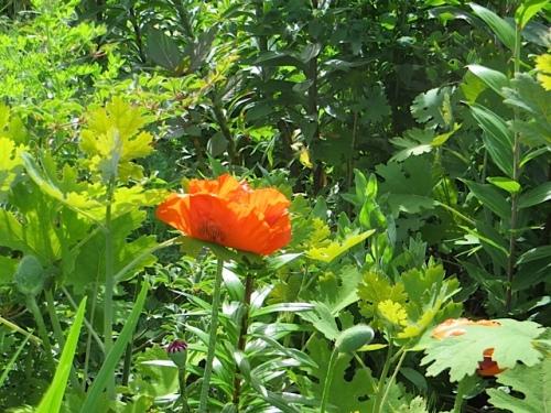 an Oriental poppy glows in the garden chaos