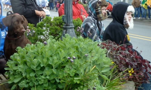 Sedum 'Autumn Joy', which we will cut back by half now that the parade is over, so it won't get floppy (Allan's photo)