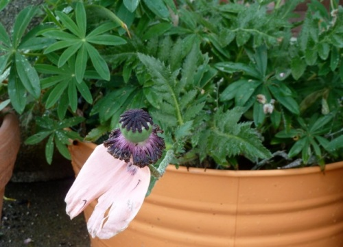 Allan thought this spent Oriental poppy in one of Luanne's planters looked like a hat with a veil.