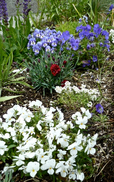 violas and dianthus