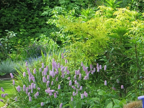 So many plants are flowering...Persicaria bistorta suberba...