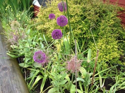 an Allium barricade from a fretful gardener